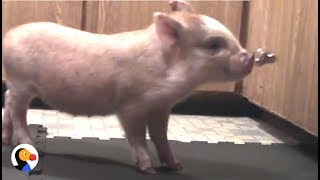 Smart Pig Trained Like A Dog | The Dodo