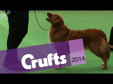 Nova Scotia Retriever | Best of Breed | Crufts 2014