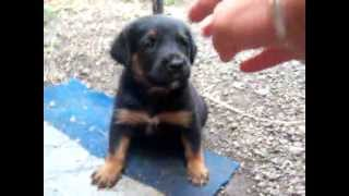 Rottweiler Puppy Gets Angry !!