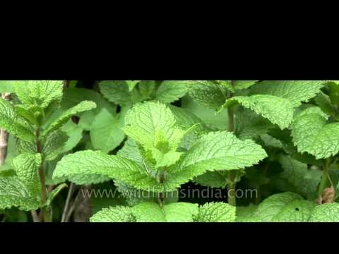 A plot of fresh mint or mentha, in Bhuthan