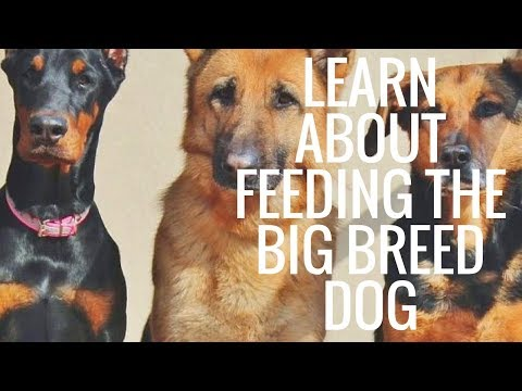 Learn About Feeding The Big Breed Dog