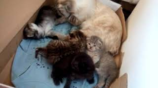кошка с котятами. шотландские котята