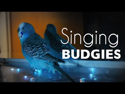 Budgie sounds | Warm Your Heart with singing Budgies