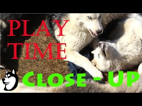 Husky Puppies Playing/Talking CLOSE-UP (6 Months Old)