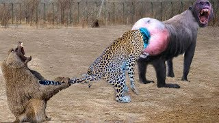 Big Fight Between Leopard Vs Hero Monkey, Leopard Fight Hero Monkey, what Is The Result???