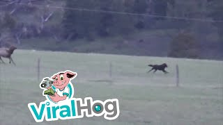 Cow Elk Takes on Cautious Wolf || ViralHog