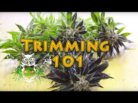 Trimming Cannabis | How to Trim Marijuana | Wet trimming | Harvesting Weed