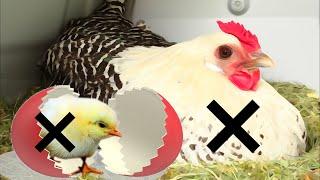 Comment stopper une couvaison? 3 solutions simples pour la poule.