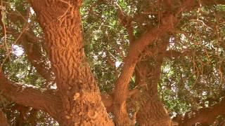 The Blessed Tree | Living Sahabi | Short Documentary