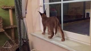 Каракал Скиф и каракет Нора - мы должны открыть окно