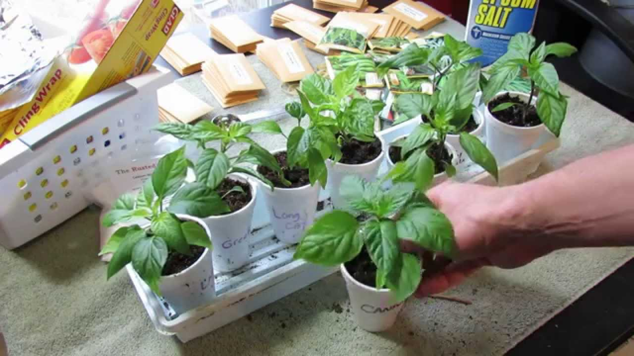 Pruning Pepper Transplants: Greater Yields, Stockier Plant ...