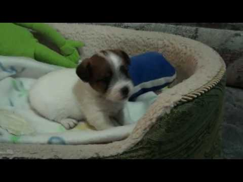 Pety Rough Coat Jack Russell Terrier Puppy Youtube