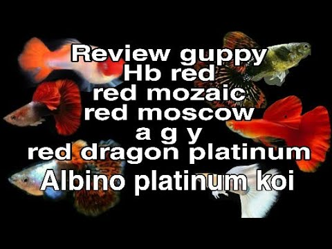 Review guppy red dragon platinum babon