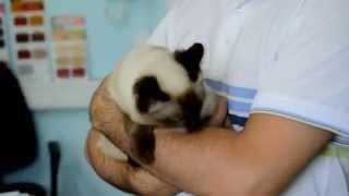 Бирманский коток, сиамский кот, кошак породистый