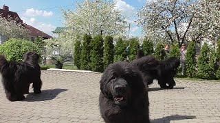 Newfoundland dogs greet neighbors