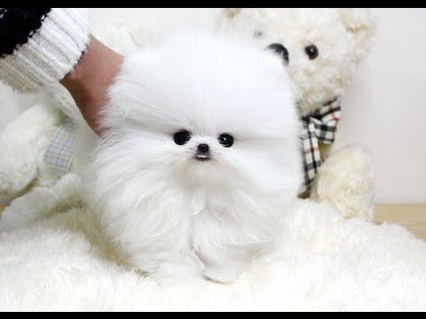 Tea Cup Pomeranian Puppy Youtube
