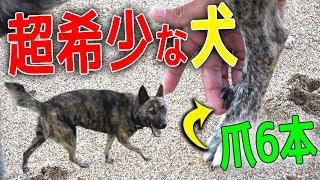 日本最古の犬種と言われる琉球犬。その犬種の血が混じっているワンちゃ...