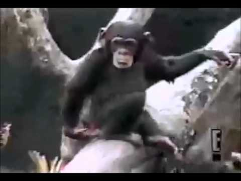 Funny monkey faints after smelling his own ass ! Very funny