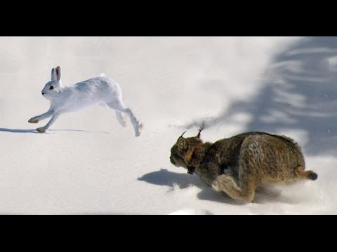 Thumbnail: Epic Hunting Chase of the Canadian Lynx and Snowshoe Hare in HD