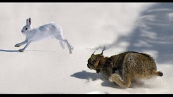 Epic Hunting Chase of the Canadian Lynx and Snowshoe Hare in HD