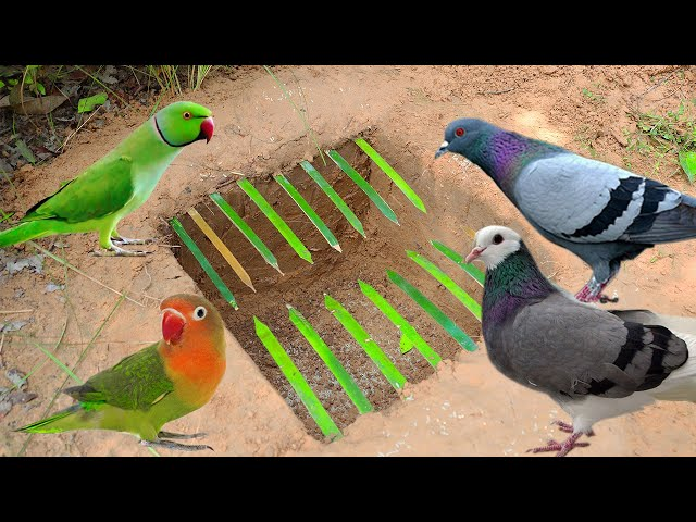Creative Technology Parrot Bird Trap Using Bamboo - Plastic Plate and  Cardboard