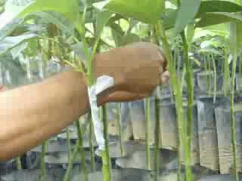 Injertado de plantas de aguacate hass y hass selecci n for Como sembrar plantas ornamentales
