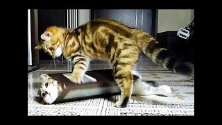 Funny Cats and Kitten Doing Funny Things || FunnyVines