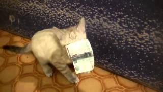 Кот воришка стырил тысячу и не отдает  Смешные животные 2013