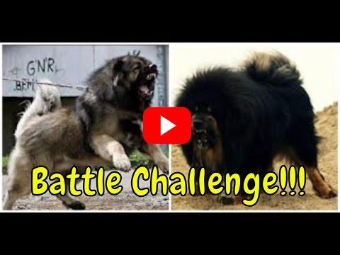Funny Videos - An Elabay Dog VS Tibetan Mastiff | Best Funny Animals - Funny Animals April 2017