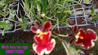Hoa lan vũ nữ bút chì 30k 220418|Minh hoa lan ngo