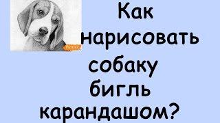 Как нарисовать СОБАКУ бигль КАРАНДАШОМ?(Всем привет! Сегодня я расскажу Вам, как нарисовать собаку породы бигль карандашом(или карандашом и чёрной..., 2016-01-09T08:59:38.000Z)