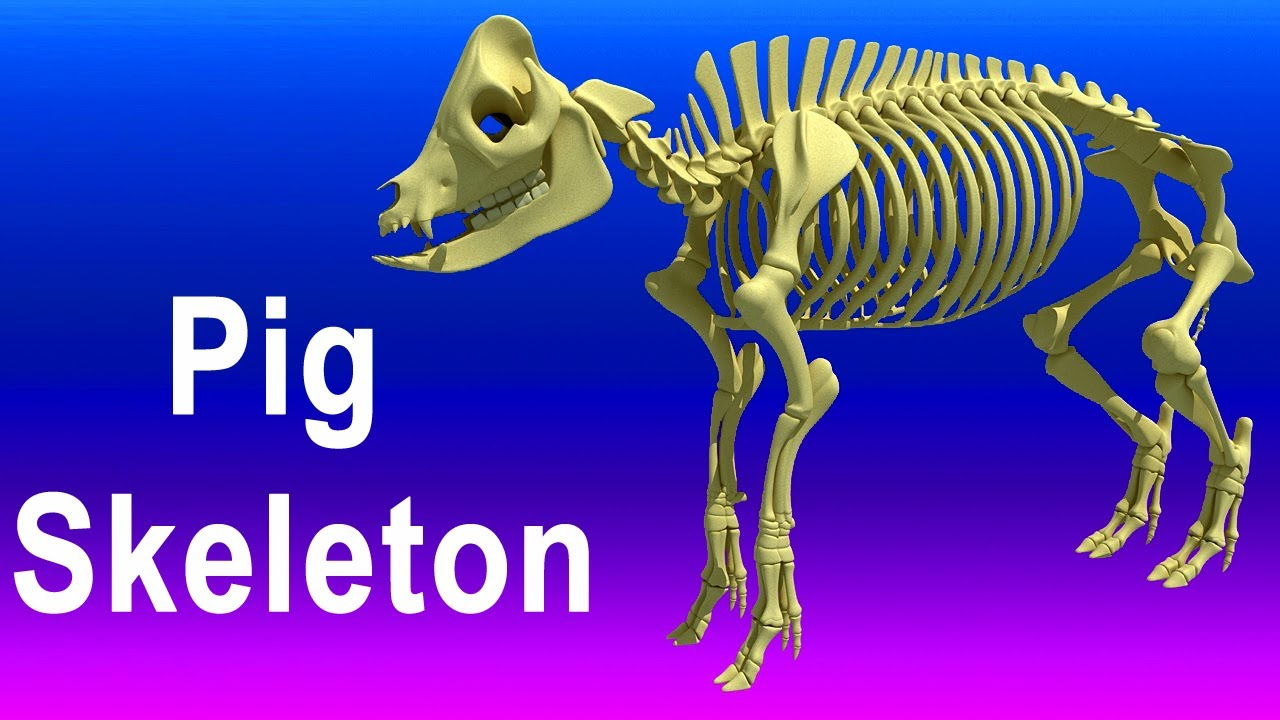 pig skeleton 3d model - youtube, Skeleton