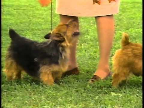 Norwich Terrier - AKC Dog Breed Series