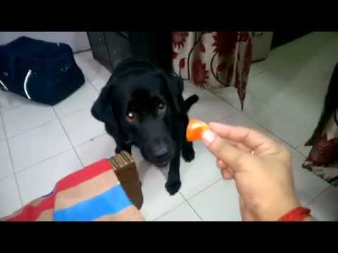 Dog loves Tomato