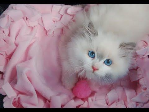 Bringing Home Our 13 Week Old Soulmate Blue Bi-color Ragdoll Kitten Rosey