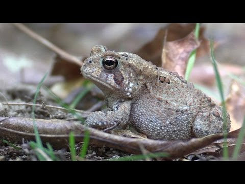 Bird And Insect Sounds, Beautiful Tiger Beetle, And American Toad