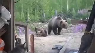 Не играйте с медвежатами. За ними - мама. Случай в тундре