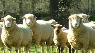 Sheep Song