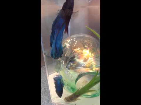 Betta fish mating, female helps put eggs in nest