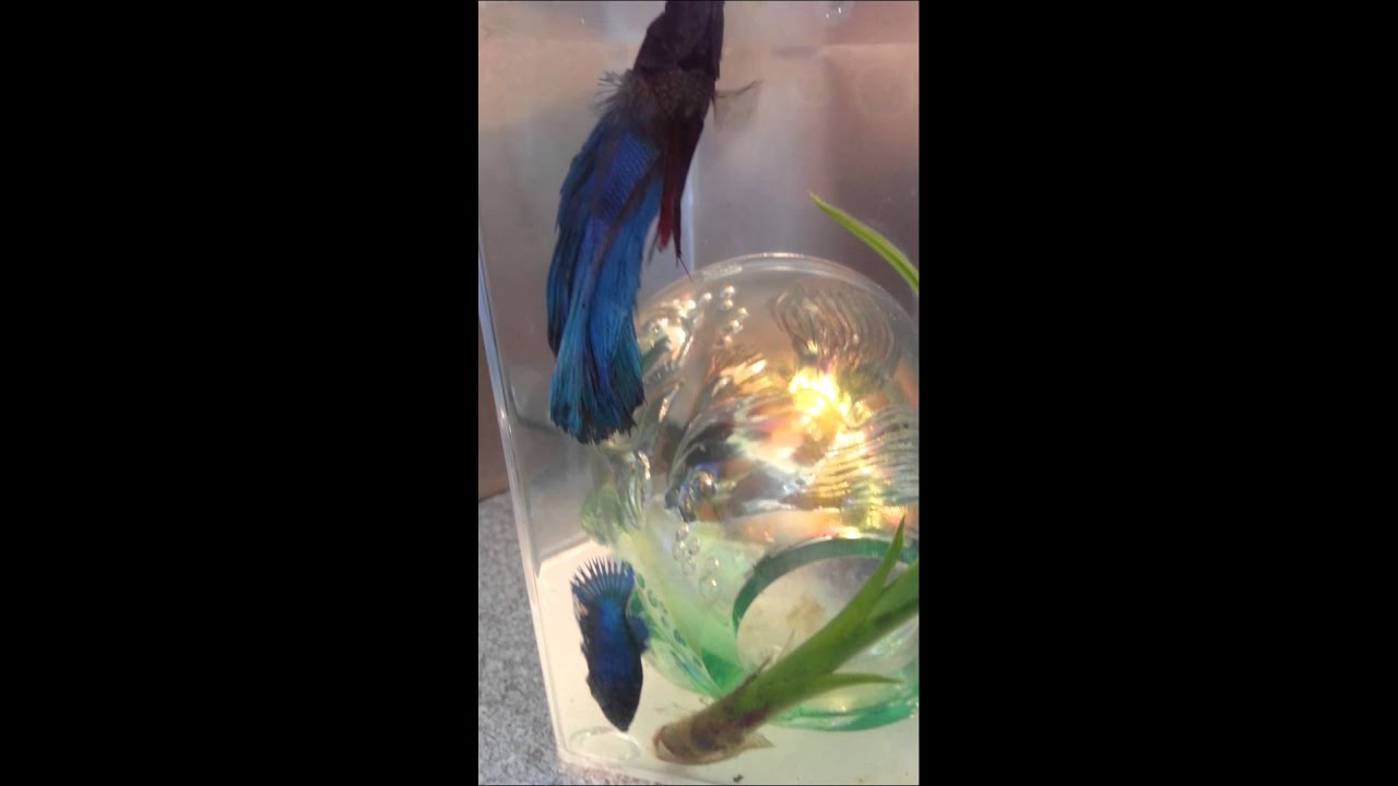 Betta fish mating female helps put eggs in nest youtube for Betta fish mating