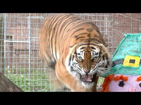 angry-tiger-vs-angry-lion