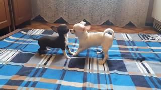 Очень милые щеночки чихуахуа продает заводчик. Объявления о продаже щенков чихуахуа на Догики.
