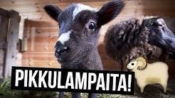 Liian söpöjä lampaita!