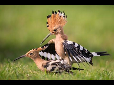 Wiedehopf Männchen füttert Weibchen vor der Brutzeit