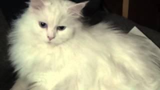 Моя кошка ангорка Муся, белая голубоглазая но черное лучше не надевать