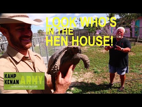 This Tortoise thinks it's a CHICKEN!