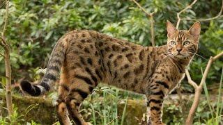 Для детей и взрослых. Однохвостые мокроносы - самые дорогие породы кошек. Бенгальская кошка