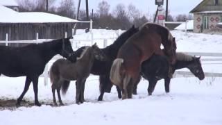 Свободная случка лошадей. Зоотехника. Зоопсихология.