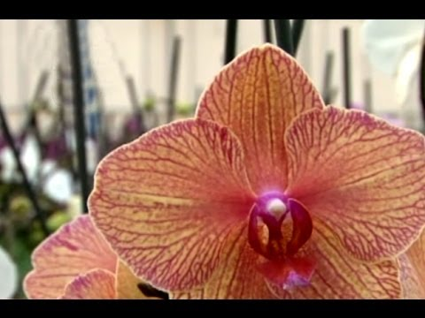 omovies orkide thai