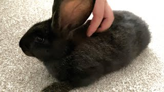 Bringing home a Flemish Giant Rabbit!! She's so sweet!!